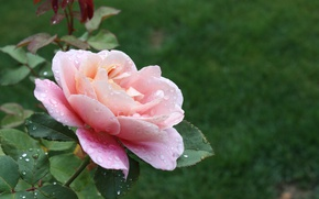 Картинка Капли, Розовая роза, Pink rose, Drops