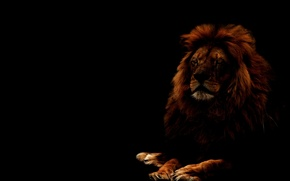 Картинка кошка, взгляд, морда, хищник, лев, грива, lion