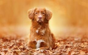 Картинка портрет, взгляд, осень, собака, листья