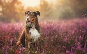Обои собака, взгляд, природа, друг