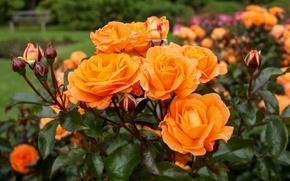 Картинка оранжевый, куст, розы, бутоны