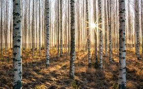 Картинка солнце, деревья, берёзы