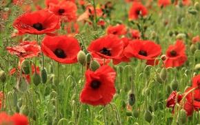Картинка поле, цветы, маки, лепестки, красные