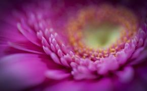 Картинка цветок, макро, розовый, лепестки, гербера