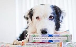 Картинка взгляд, книги, собака