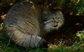 Картинка хищник, манул, палласов кот, © Anne-Marie Kalus