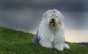 Картинка собака, Sophie, Бобтейл, dewollewei photography, староанглийская овчарка