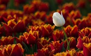 Картинка белый, один, тюльпаны, мохнатые