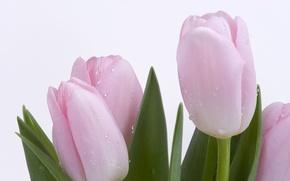Обои нежность, Тюльпаны, росса