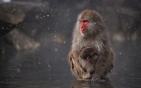 Картинка вода, снег, озеро, Япония, обезьяна, Japan, monkey, детеныш, water, snow, child, макака, mother