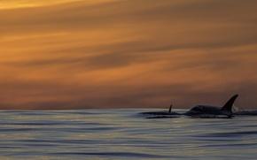 Картинка pacific ocean, sunset, killer whales, orca