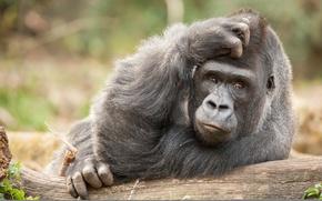 Картинка взгляд, обезьяна, задумчивость