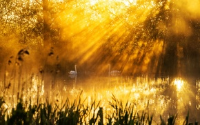 Картинка свет, озеро, утро, лебеди
