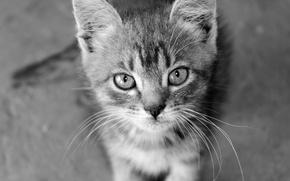 Картинка кот, усы, котик, ч/б, кашак