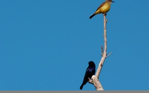 Картинка Birds, Blue, Brown, Branch, Couple, Azulão