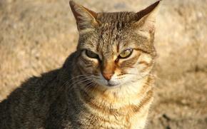 Обои взгляд, рыжий, Кошак