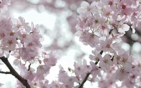 Картинка небо, макро, свет, деревья, цветы, ветки, вишня, ветви, легкость, нежность, весна, лепестки, сакура, розовые, белые, …