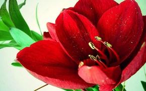 Картинка цветок, красный, Амариллис