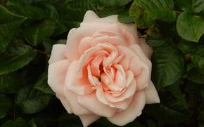 Картинка цветок, обои, роза, лепестки, мушка