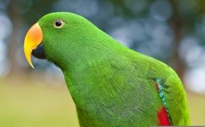 Картинка Попугай, зелёный, ожереловый