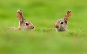 Обои двое, животные, природа, зайцы, размытость, зелень, уши, трава