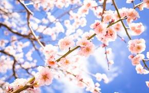 Обои ветки, цветы, цветение, весна, слива