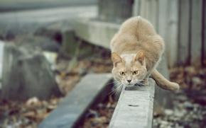Обои кошка, взгляд, охотник, cat, смотрит, кот