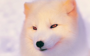 Картинка зима, свет, песец, полярная лисица