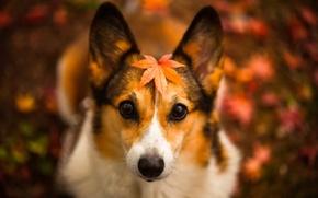Картинка взгляд, лист, собака