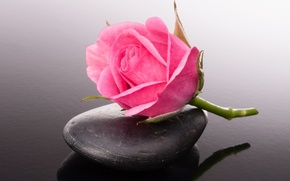 Обои камешек, цветок, розовая розочка