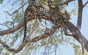Картинка ветки, дерево, отдых, сон, хищник, леопард, хвост, Африка, дикая кошка