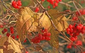 Картинка осень, листья, ягоды, калина