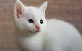 Картинка белый, фон, котёнок, гетерохромия