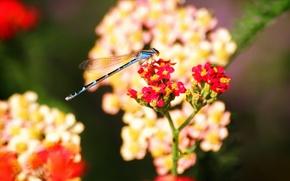 Картинка цветы, насекомые, Стрекоза