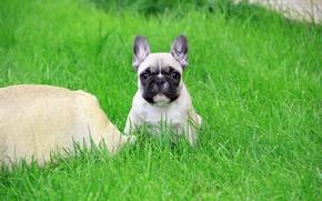Картинка трава, взгляд, щенок, французский бульдог, клеймо, French Bulldog