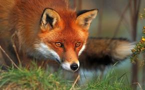 Картинка трава, глаза, лиса, лис, рыжая, фауна