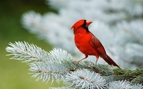 Обои красный, птица, ель, хвоя, кардинал