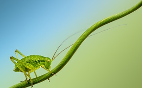 Картинка insect, cricket, branch