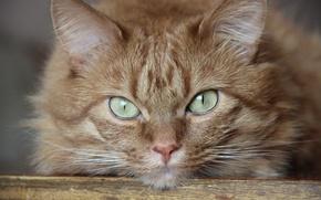 Картинка глаза, кот, усы, свет, кошки, зеленый, серый, ковер, кресло, шерсть, нос, рыжий, пол, задумчивый, усатый, …