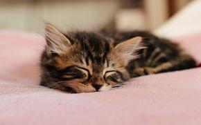 Обои котенок, шерсть, спит, ушки
