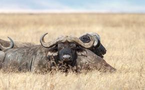 Картинка поле, горизонт, рога, дикая природа, буйвол