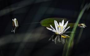 Картинка Лилия, белая, white, water, водяная, lily