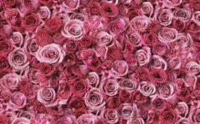 Обои розовые, россыпь, розы