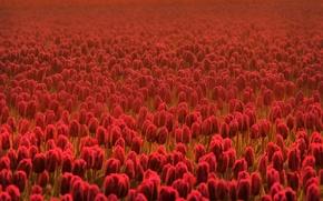 Обои поле, цветок, лето, цветы, свежесть, поля, весна, тюльпаны, красные, цветки, весенние цветы, касный, летние цветы