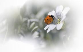 Картинка белый, цветок, фон, божья коровка, размытость