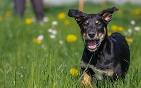 Картинка трава, фон, друг, widescreen, обои, собака, пасть, wallpaper, grass, бежит, лужайка, широкоформатные, dog, background, пёс, …