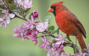 Картинка птица, ветка, весна, яблоня, цветение, цветки, кардинал, Красный кардинал