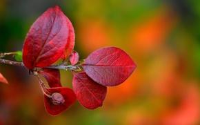 Обои осень, листья, природа, ветка, багрянец