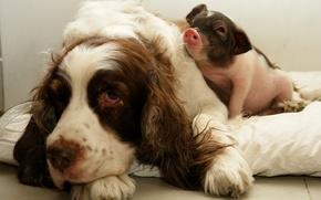 Картинка собака, друзья, поросёнок