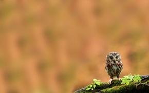Обои сова, птица, мох, ветка, птенец, совенок